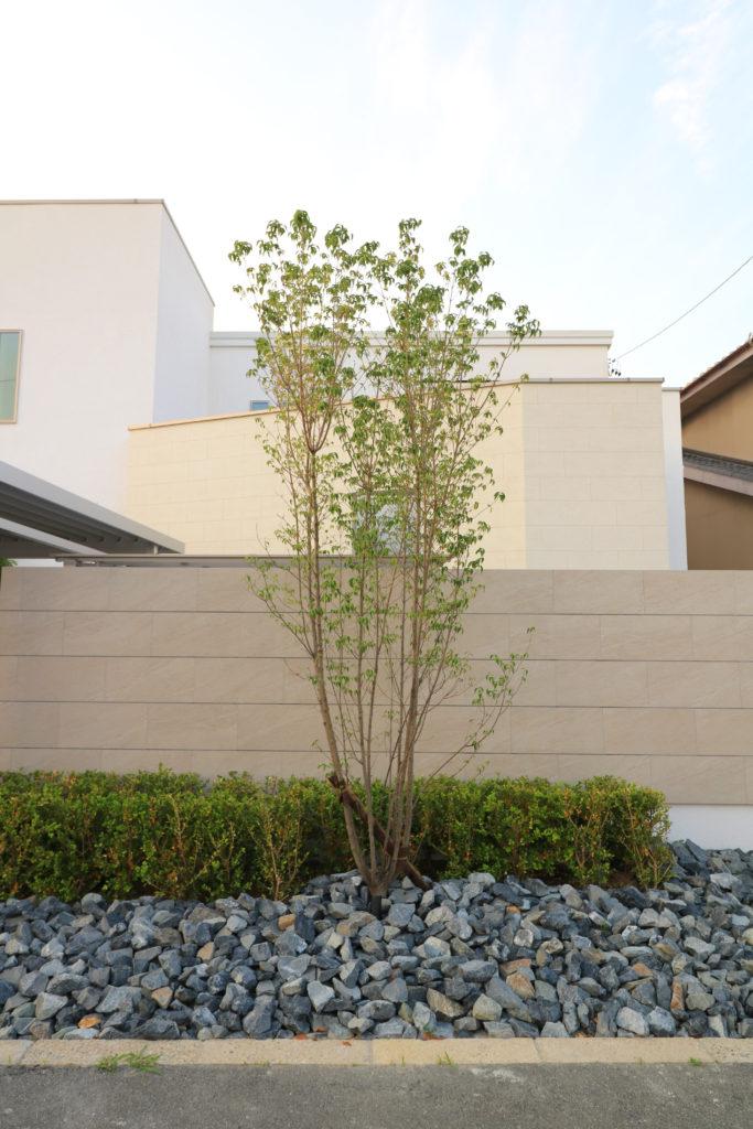 ヤマボウシのシンボルツリー